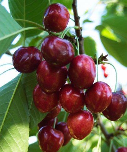 Pomi fructiferi Ciresi soiul `Linda`.  Puieti fructiferi altoiti, radacina ambalata.. Poza 12826