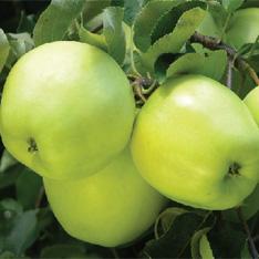 Meri soiul `Early Gold`. Pomi fructiferi puieti altoiti, cu radacina ambalata.. Poza 12833