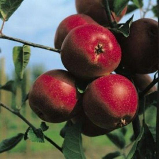 Meri soiul `Sumer red`. Puieti pomi fructiferi altoiti, radacina ambalata.. Poza 12835