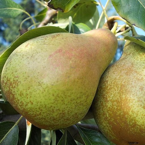 Peri soi `Ilonka`. Pomi puieti fructiferi altoiti,cu radacina ambalata.. Poza 12841