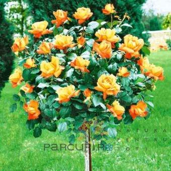 Trandafiri altoiti pe picior h=1.2-1.3 m.Thea hybrida portocaliu