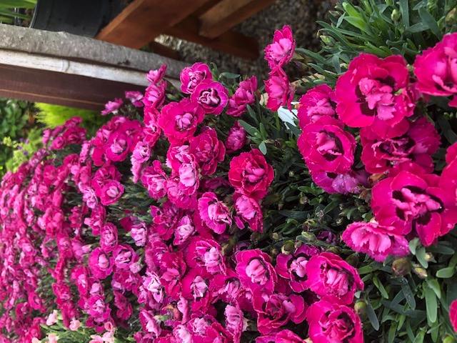 Flori de gradina perene GAROFITE/ `Dianthus ciclam  `ghiv 12 cm. Poza 12967
