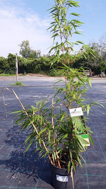 Bambus talie mica , Fargesia murieliae Rufa  h=0,50 m, ghiveci 3litri.