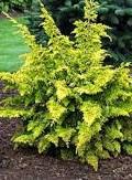 Arbusti rasinosi CHAMAECYPARIS OBTUSA Frenspray Gold  h= 20-25 cm. Poza 13033