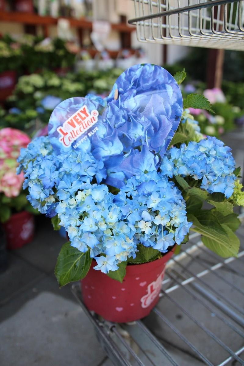 Flori perene Hortensia / HYDRANGEA MACROPHYLLA HAPY BLUE h=35-50 cm , ghiveci 10 litri. Poza 13058