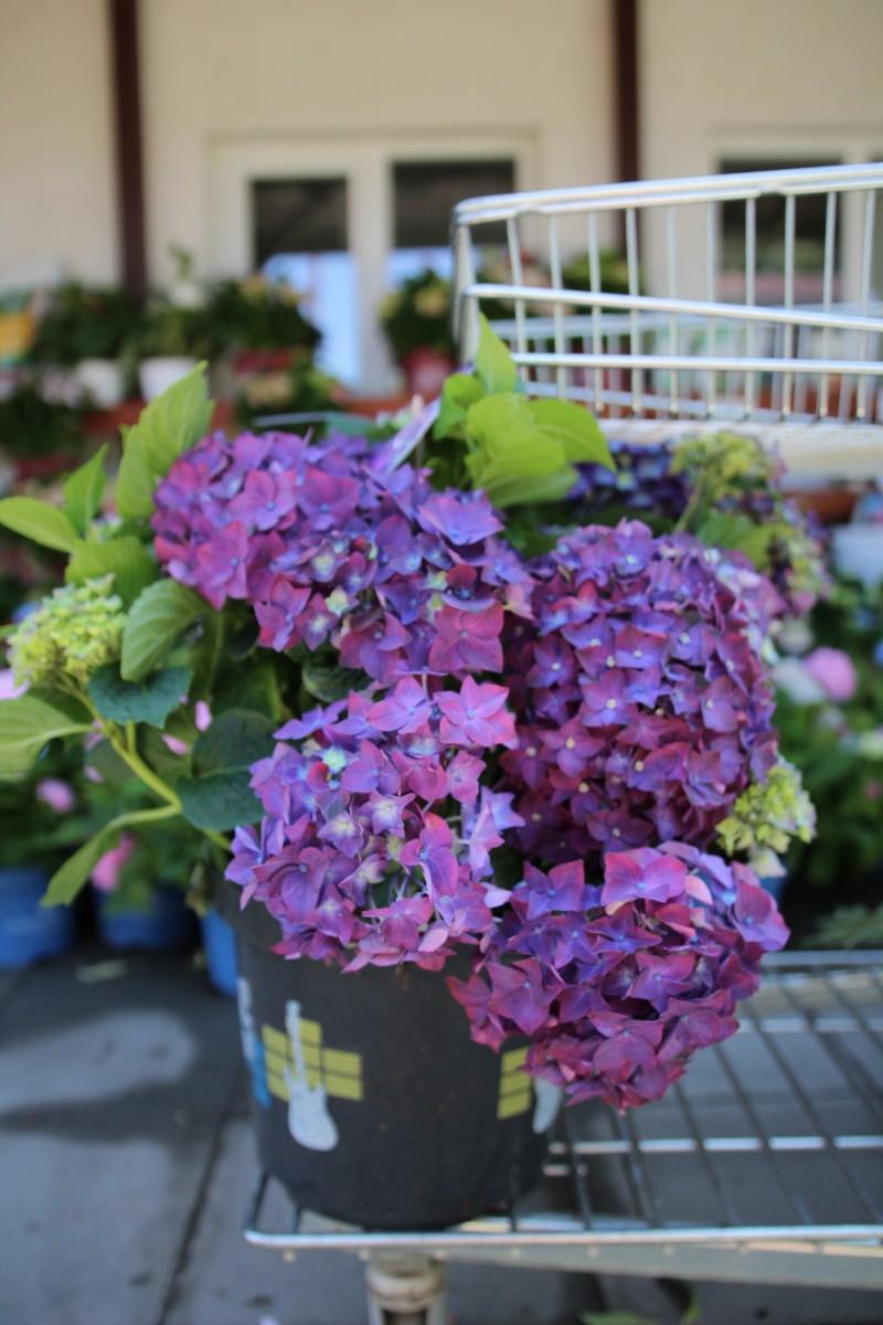 Arbusti gradina HYDRANGEA HORTENSIS EUROPA purple   (hortensia)h= 40cm ghiveci 5 litri. Poza 13072