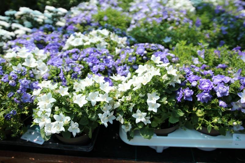 Flori de gradina perene Campanula