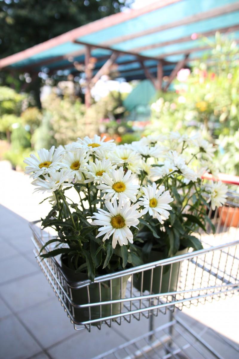 Flori de gradina perene Chrysanthemum leucanthemum Banana Crem. Poza 13093