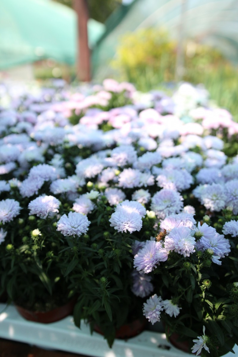 Flori de gradina perene Aster aster, steluta, ochiul boului de munte), fl lila. Poza 13103