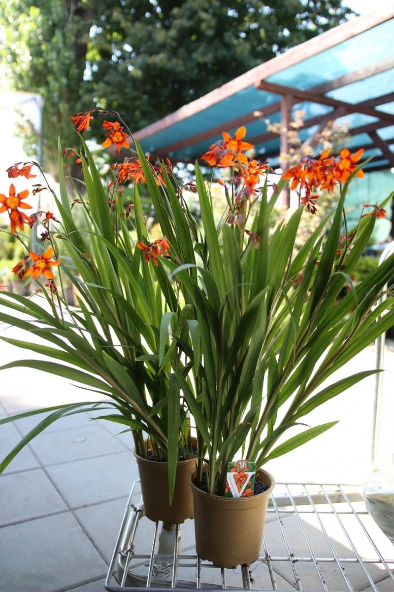Flori de gradina perene Crocosima. Poza 13108