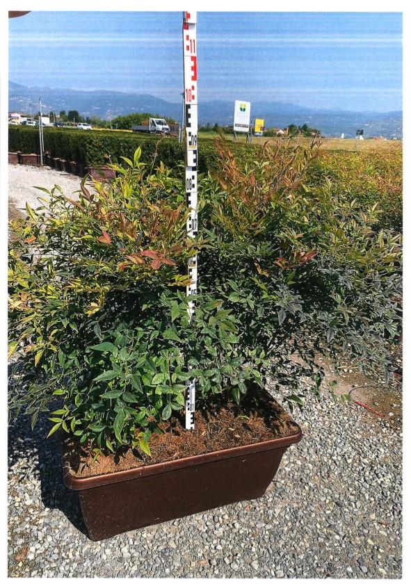 Arbusti evergreen BUXUS SEMPERVIRENS (cimisir sau merisor), JARDINIERA. Poza 13111