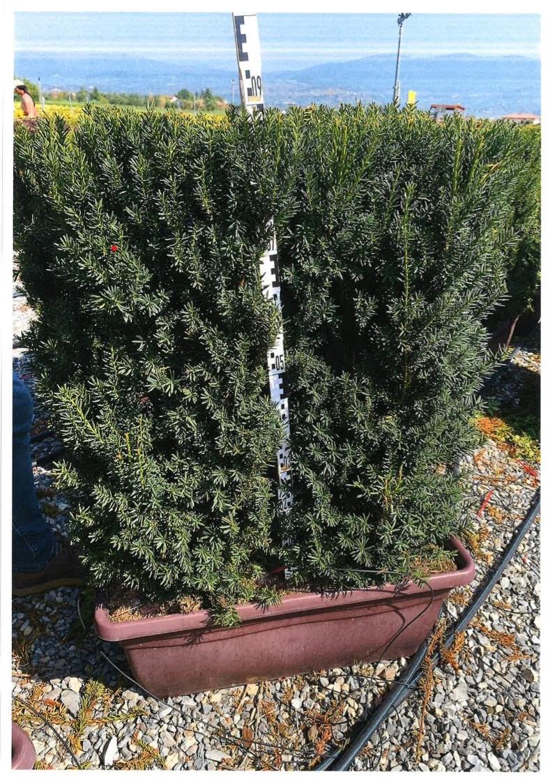 Arbusti gard viu Taxus media Hillii , JARDINIERA 80 L  H = 90 CM. Poza 13114