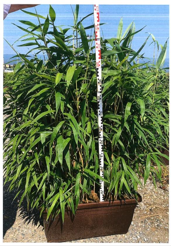 Bambus   Fargesia murieliae Rufa  h=050 m, casete.