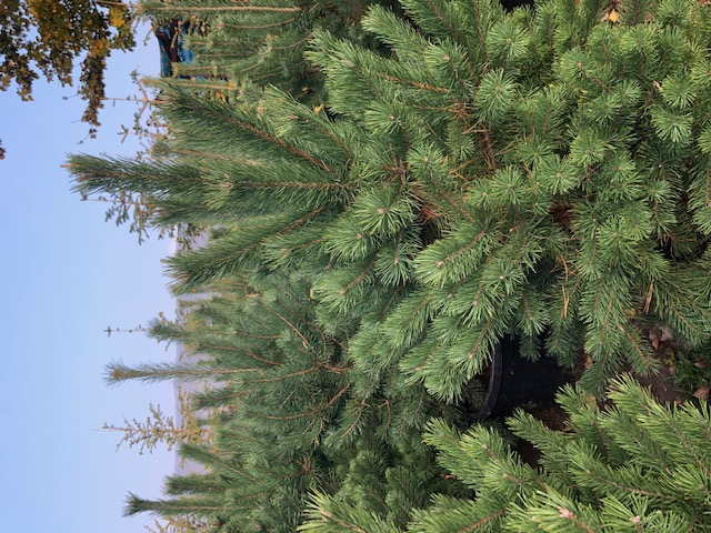 Arbori rasinosi PINUS NIGRA AUSTRIACA / PIN NEGRU ghiveci litri, h= 125-150. Poza 13349