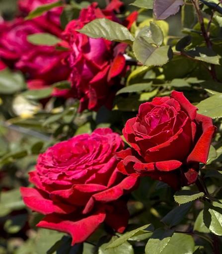 Trandafiri de gradina cu radacina ambalata soiul GPT BOTERO. Poza 13366