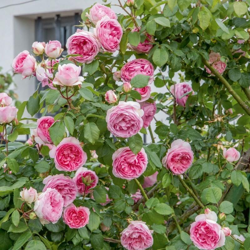 Trandafiri de gradina cu radacina ambalata soiul GPTMINI PIERRE DE RONSARD. Poza 13370