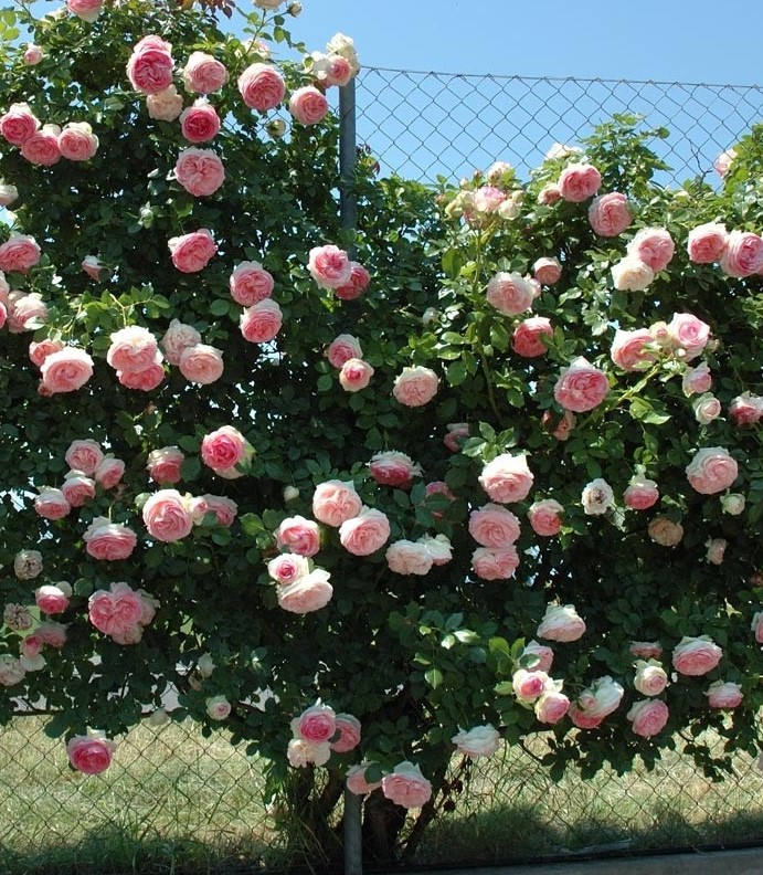 Trandafiri de gradina cu radacina ambalata soiul GPT PIERRE DE RONSARD. Poza 13372