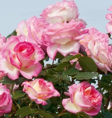 Trandafiri de gradina cu radacina ambalata soiul GPT PRINCESSE DE MONACO. Poza 13375
