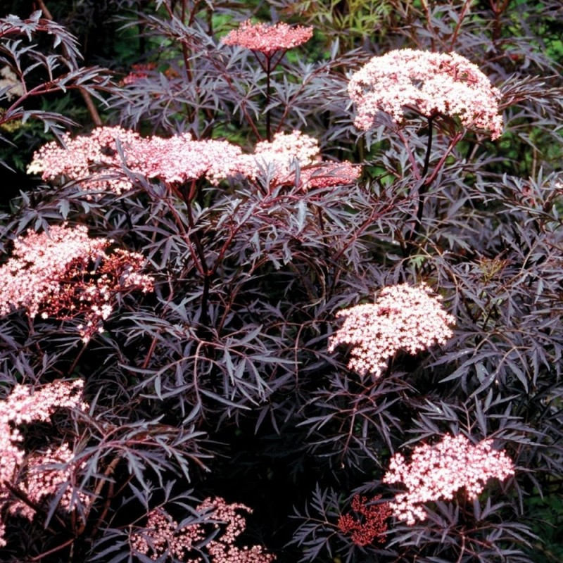 Arbust de gradina Sambucus nigra Black Tower  , soc ornamental  ghiveci C3 h=40-60 cm. Poza 14028