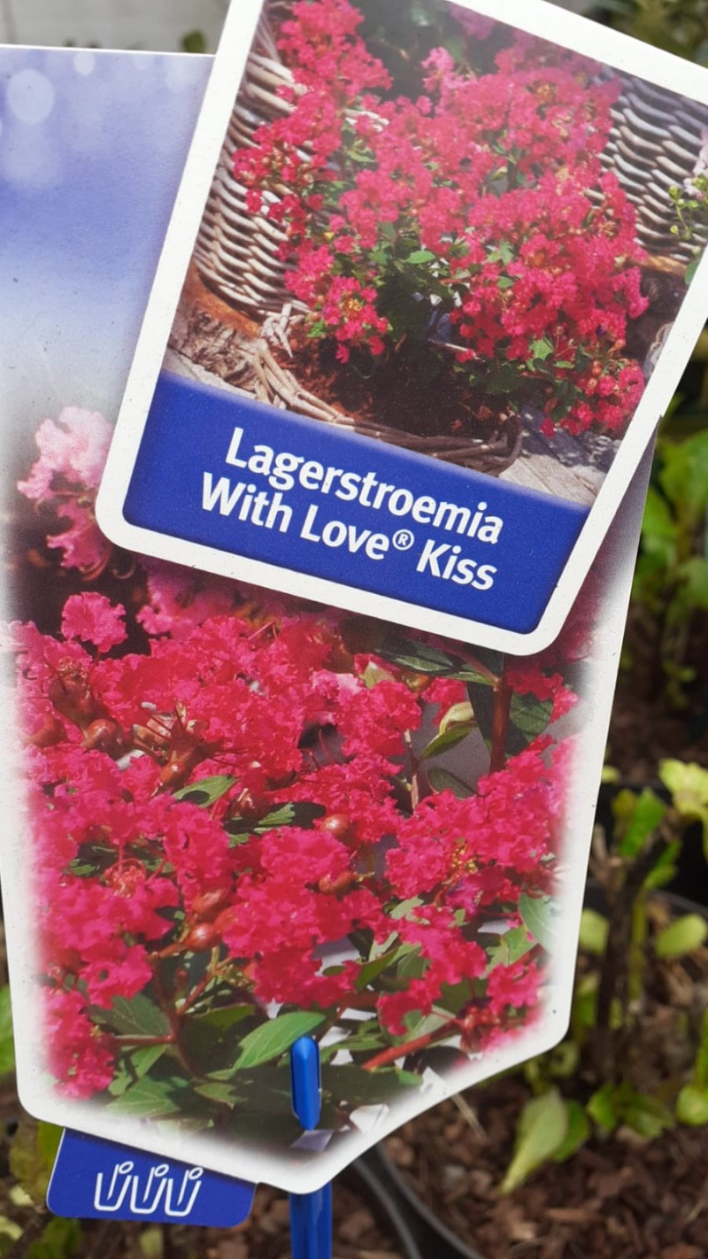 Lagerstroemia indica Wit Love Kis  (liliac indian), ghiveci 10 l, h=50-80 ( ramificat). Poza 14438