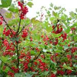 Arbusti fructiferi de vanzare: coacaz rosu