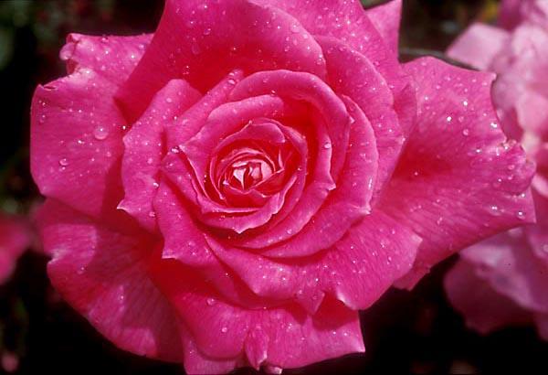 Trandafiri Eden Rose