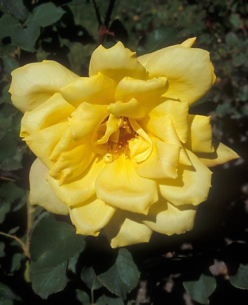 Trandafiri Gold Glow