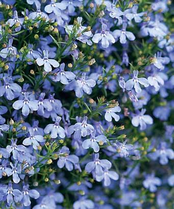 Plante de balcon curgatoare (Lobelia erinus pendula) lobelie