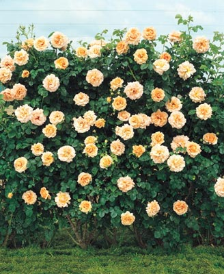 Plante urcatoare Trandafir catarator galben h=2m
