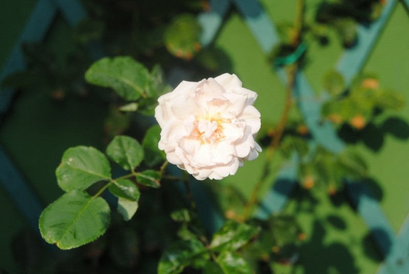 Plante urcatoare Trandafir catarator alb h=2m