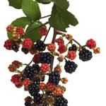 Arbusti fructiferi de vanzare: muri