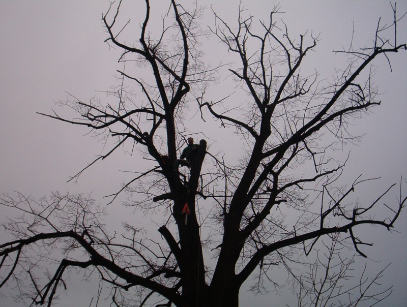 Taiere doborare fasonare sau toaletare arbori cazuti inalti uscati si periculosi