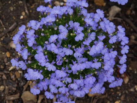 Flori de gradina anuale Lobelia erinus / Lobelia. Flori in ghiveci de 9 cm.