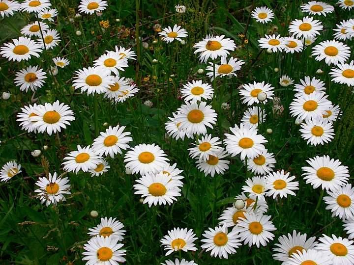Flori de gradina  perene Chrysanthemum leucanthemum (margareta)