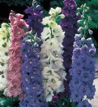 Flori de gradina  perene Delphinium grandiflorum (nemtisorul de camp)