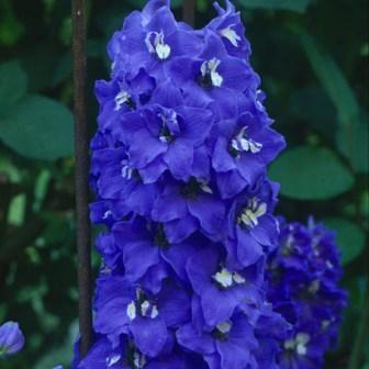 Flori de gradina  perene Delphinium grandiflorum Blue Bird (nemtisorul de camp)