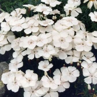 Flori de gradina perene Dianthus alpinus (garofite perene)