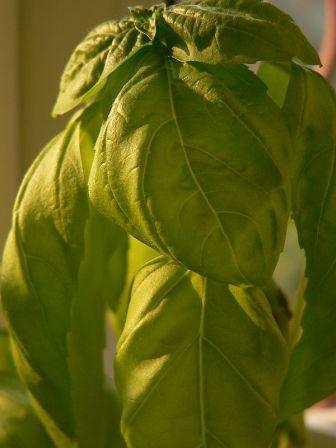 Plante aromatice de  gradina in ghiveci  Busuioc