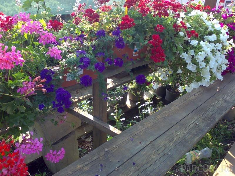 Plante de balcon petunii curgatoare (Petunia hybrida pendula)