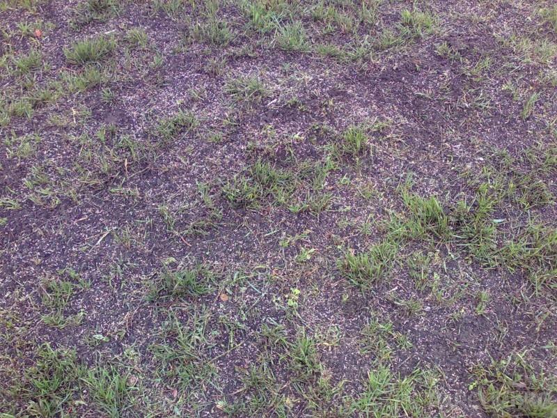 Insamantare si suprainsamantare gazon. Imprastierea uniforma a semintelor de gazon. Semanare gazon.