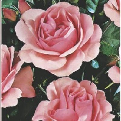 Trandafiri de gradina.vanzari online dating