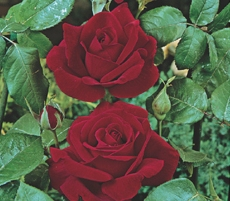 Trandafiri de gradina cu radacina Chrysler Imperial la ghiveci