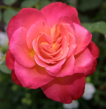 Trandafiri pitici de gradina cu radacina Granada in ghiveci.