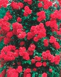 Trandafiri agatatori cataratori de gradina cu radacina Paul's Scarlet