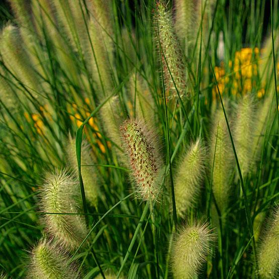 Ierburi graminee Pennisetum alopecuroides