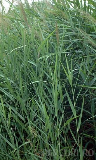 Ierburi graminee Phragmites australis (trestie)