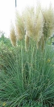 Ierburi graminee Cortaderia selloana Argenteum(iarba de pampas