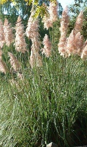 Ierburi graminee Cortaderia selloana Argenteum Roseum