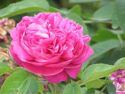 Trandafiri pentru dulceata cu radacina