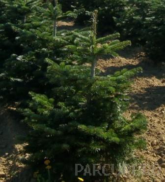 Arbori rasinosi Abies nordmaniana